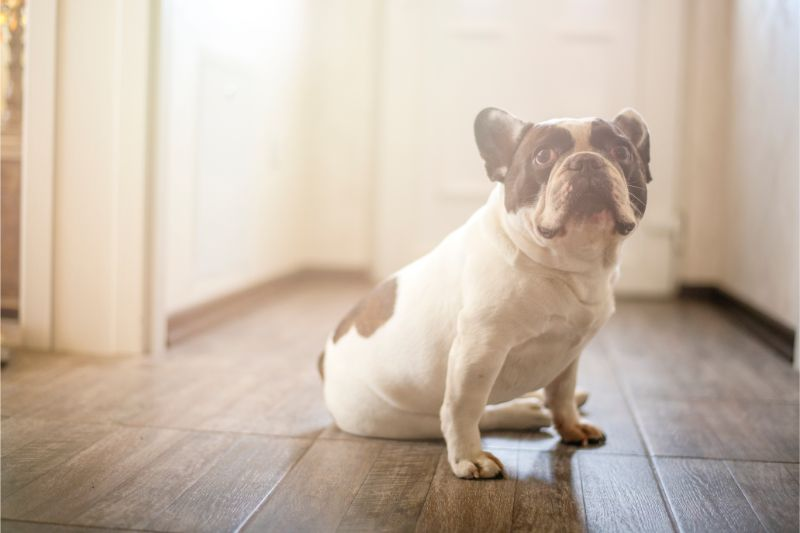 A French Bull dog sitting on a dark hardwood floor looks forlorne and alone in the late afternoon light.