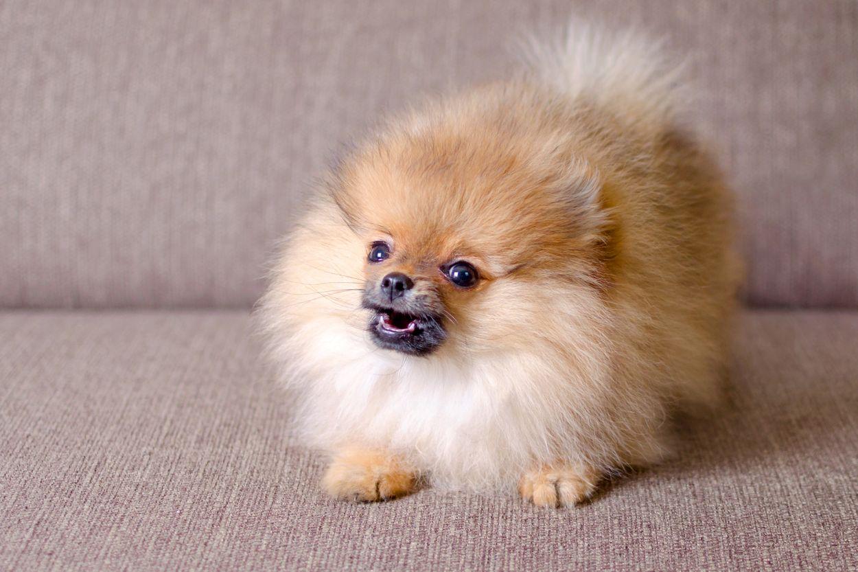 Small aggressive dog.
